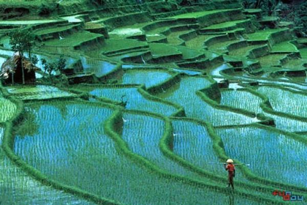 rice paddies Bali