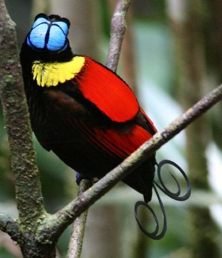 raja ampat birds